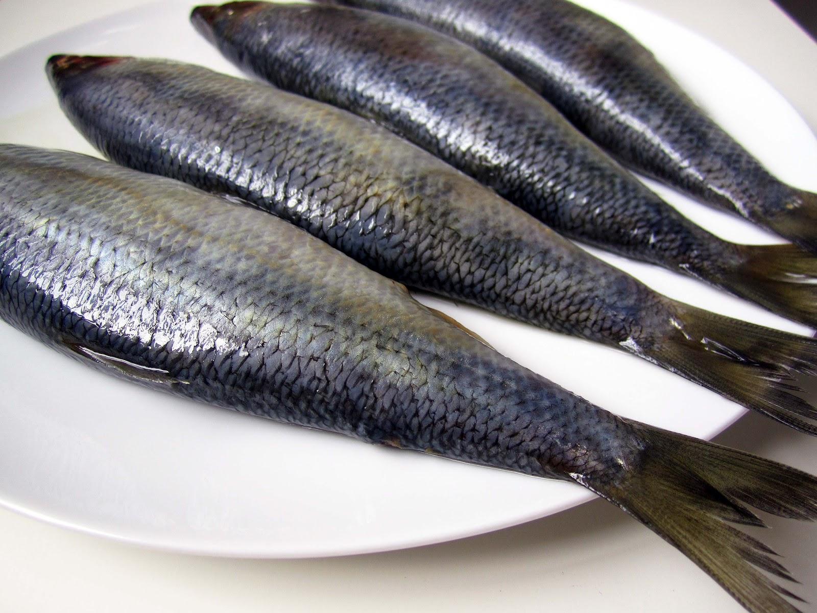 grazer herring 2