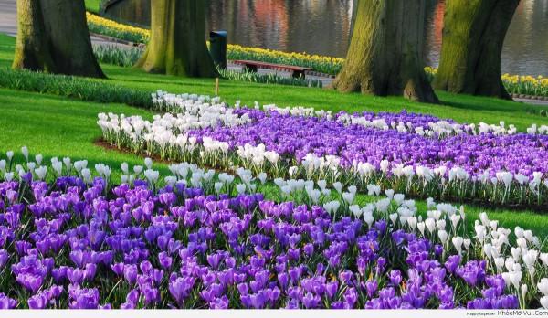 anh-nen-hoa-tulip-tim-trong-cong-vien