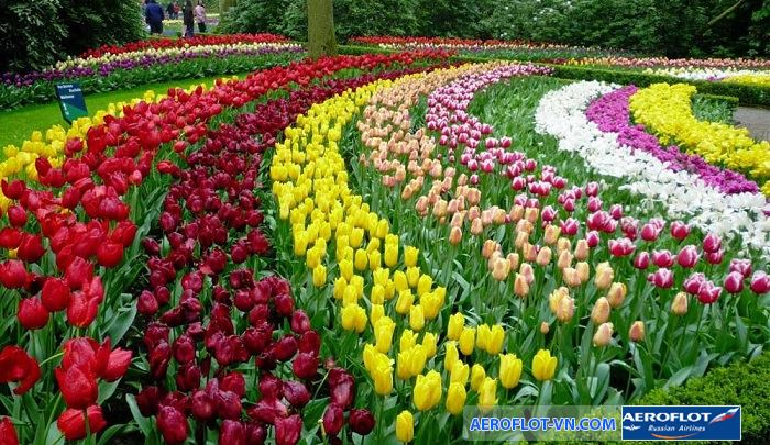 Lễ hội hoa tulip Hà Lan tuyệt đẹp